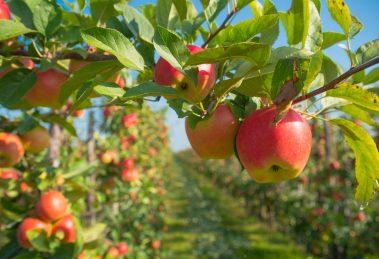 almafa fajták